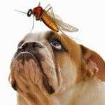 Heartworm-dog-with-mosquito-150x150