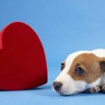 Jack-russell-with-heart-150x150