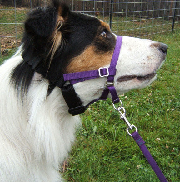 The use of a well fitted head halter can be used to physically prompted the dog to display the target behavior.