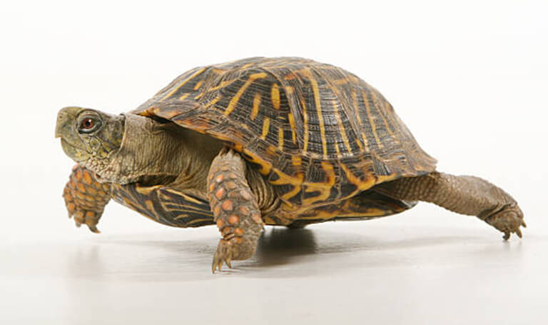 box turtle pet tips aztec animal clinic albuquerque nm